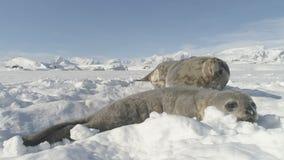 Sello adulto del weddell del bebé de la Antártida que miente en nieve almacen de video