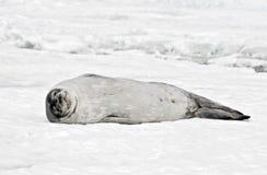 Sello antártico de Weddell Imagen de archivo libre de regalías