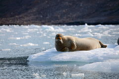 Sello barbudo en el hielo rápido Foto de archivo