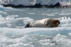 Sello barbudo, Svalbard - Noruega foto de archivo