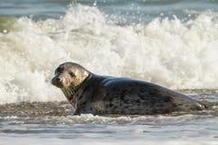 Sello común del gris en la playa que juega en el mar Foto de archivo