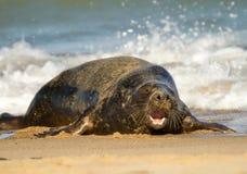 Sello común del gris en la playa que juega en el mar Imagen de archivo libre de regalías