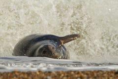 Sello común del gris que juega en el mar Imagen de archivo