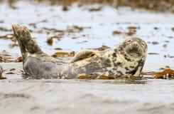 Sello común del gris que se relaja en el mar Imagen de archivo