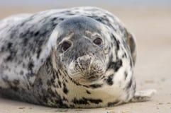 Sello común en la playa. Imagenes de archivo