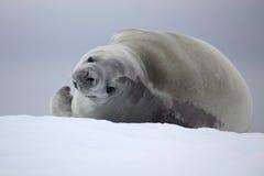 Sello de Crabeater que se reclina sobre la masa de hielo flotante de hielo, Ant3artida Foto de archivo libre de regalías