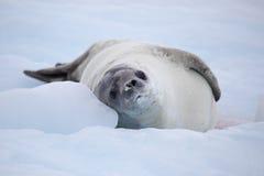 Sello de Crabeater que se reclina sobre la masa de hielo flotante de hielo, Ant3artida Imagen de archivo