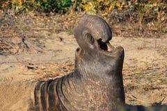 Sello de elefante Fotografía de archivo libre de regalías