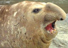 Sello de elefante Foto de archivo libre de regalías