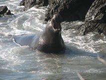 Sello de elefante Imagen de archivo libre de regalías