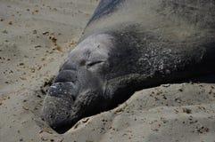 Sello de elefante el dormir Imagen de archivo libre de regalías