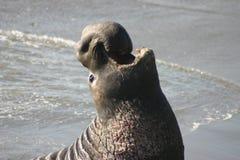 Sello de elefante orgulloso imágenes de archivo libres de regalías