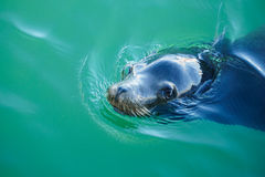 Sello de la natación imagen de archivo