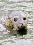 Sello de la natación Fotografía de archivo libre de regalías