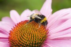 Sello de las flores del abejorro Fotos de archivo libres de regalías