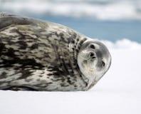 Sello de Weddell Fotos de archivo