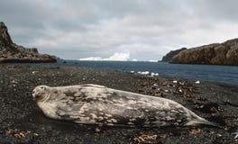 Sello de Weddell Imagen de archivo libre de regalías