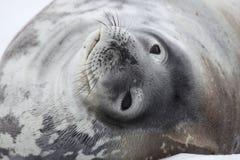 Sello de Weddell, Ant3artida Fotografía de archivo