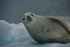 Sello de Weddell en el hielo Imágenes de archivo libres de regalías