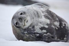 Sello de Weddell en el tiempo nevoso, Ant3artida Foto de archivo