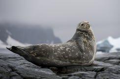 Sello de Weddell que pone en la roca Imagen de archivo libre de regalías