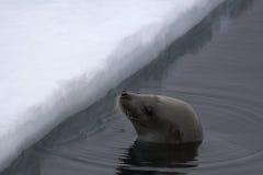 Sello de Weddell (weddellii de Leptonychotes) Foto de archivo libre de regalías