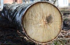 Sello del árbol de abedul de la tala para la industria de madera Foto del corte del árbol Árbol de abedul derribado Foto de archivo