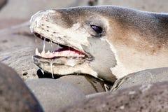 Sello del leopardo Foto de archivo libre de regalías