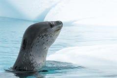 Sello del leopardo en masa de hielo flotante de hielo foto de archivo libre de regalías