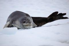 Sello del leopardo que se reclina sobre la masa de hielo flotante de hielo, Ant3artida Imagen de archivo