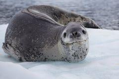 Sello del leopardo que se reclina sobre la masa de hielo flotante de hielo, Ant3artida Foto de archivo libre de regalías