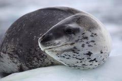 Sello del leopardo que se reclina sobre la masa de hielo flotante de hielo, Ant3artida Imagenes de archivo
