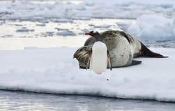 Sello del leopardo y pingüino antárticos de Gentoo Foto de archivo