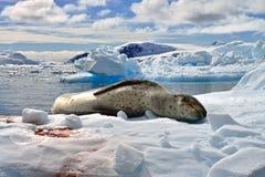 Sello del leopardo y pingüino antárticos de Gentoo Fotos de archivo libres de regalías