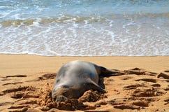 Sello del monje que descansa sobre la playa fotografía de archivo