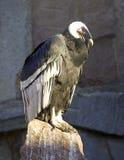 Sello despredador de la firma del pájaro del descenso de los Andes del cóndor Imagen de archivo libre de regalías