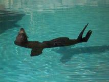 Sello en el agua Fotografía de archivo