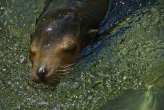 Sello en el agua Imagen de archivo