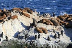 Sello en el canal del beagle, Ushuaia, Patagonia de la Argentina Imágenes de archivo libres de regalías