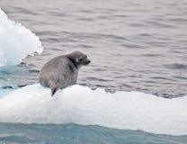 Sello en el hielo Fotografía de archivo libre de regalías
