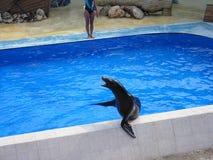Sello en la piscina Imagen de archivo