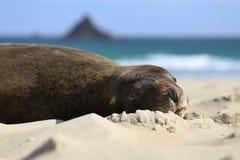 Sello en la playa Fotos de archivo libres de regalías