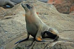 Sello en la roca Fotografía de archivo libre de regalías