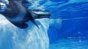 Sello en las nadadas del parque zoológico almacen de video
