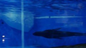 Sello en las nadadas del parque zoológico metrajes