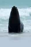 Sello en las ondas del mar Sello de Islas Malvinas con el bozal abierto y de los ojos oscuros grandes, mar azul marino en fondo Fotos de archivo