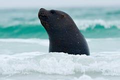 Sello en las ondas del mar Sello de Islas Malvinas con el bozal abierto y de los ojos oscuros grandes, mar azul marino en fondo Foto de archivo