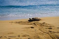 Sello en peligro de Hawaiian del monje Imagenes de archivo