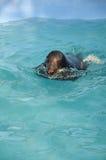 Sello en una piscina del parque zoológico Fotos de archivo libres de regalías