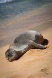Sello hawaiano del monje en la playa Fotografía de archivo